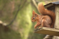 Red Squirrel At Benmore Botanic Gardens 2 (Sybalan,) Tags: benmoregardens argyll rbge red squirrel trees tranquility httpsybalanphotographyweeblycom cowal canon hide feeding feeders 760d 55250mm mammal outdoor cute furry
