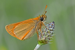 Thymelicus sylvestris - the Small Skipper (BugsAlive) Tags: butterfly butterflies mariposa papillon farfalla schmetterling бабочка animal outdoor insects insect lepidoptera macro nature hesperiidae thymelicussylvestris smallskipper geelsprietdikkopje störretåtelsmygare doradalinealarga hespériedelahouque hesperiinae wildlife hampshire martindownnr liveinsects uk