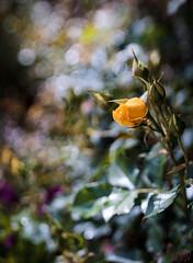 ILCE-6000-05630-20170408-1358-Pano // Carl Zeiss Jena Tessar 50mm 1:2.8 (Otattemita) Tags: 50mmf28 carlzeissjena carlzeissjenatessar50mmf28 florafauna fauna flora flower nature plant wildlife carlzeissjenatessar50mm128 sony sonyilce6000 ilce6000 50mm cnaturalbnatural ota