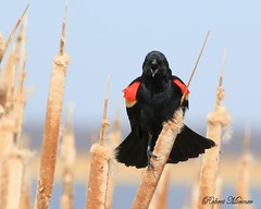 Red-winged Blackbird Displaying (Bob the Birdman and All Around Nature Guy) Tags: redwingedblackbird agelaiusphoeniceus robertmiesner bobthebirdman blackbird cattails bird wildlife animal nature
