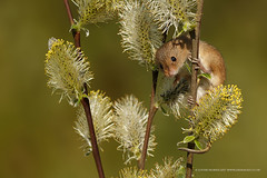Hello...... (Louise Morris (looloobey)) Tags: aq7i9511 harvestmouse alanheeley derbyshire lesley april2017 pussywillow peeping climbing outdoors