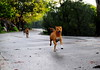 ,, Happy Dogs ,, (Jon in Thailand) Tags: dog jungle dogs k9 k9s road trees morningsun running runningdogs rocky mama legs smile dogsmile happydogs nikon d300 nikkor 175528 eyes nose paws tail ears littledoglaughedstories