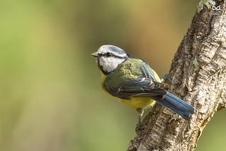 Chapim-azul, Blue Tit(Parus caeruleus)