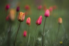 Tulpenwiese... (angelika.kart) Tags: natur pflanzen blüte blüten blumen wiese bunt frühling frühlingsblüher