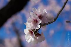 Almond (juanmerkader) Tags: nikond750 photovida picture almendro flor flores flower flowers nikon pic picofftheday primavera spring springtime aguadulce almería españa