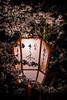 Miyako Odori + Sakura = Kyoto Magic (Rekishi no Tabi) Tags: gion kyoto japan sakura cherryblossoms lantern miyakoodori geiko maiko geisha
