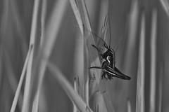 Macro in black and white (Denis Vandewalle) Tags: bw noiretblanc nature macro macrophotography sauterelle grasshopper