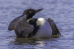 Common Loon (Looner activity?) IMG_7795 (ronzigler) Tags: common loon avian nature bird birdwatcher canon 60d sigma 150600mm