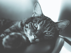 House cat on a chair (Dørig) Tags: bw m43 25mm olympus