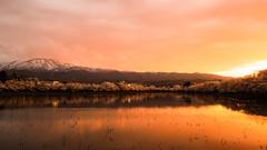 Cherry moat (chikuma_riv) Tags: japan nature landscape river lake mountain forest flower sunset sunrise spring summer autumn winter leaves