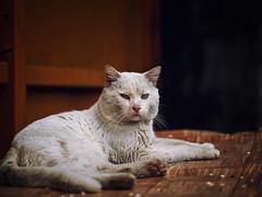 Street cat 187 (Yalitas) Tags: cat cats кот кошка котка kedi chat feline kat katze katzen kot kotka pet felino kottur katte kass kitty gato kocka gatta katzchen canon streetcat whitecat weisekätzchen bully