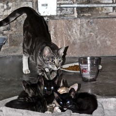 Mom Aware (Roger Hilleboe) Tags: cats felines kittens developement growth