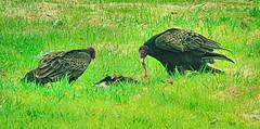 Two old buzzards dining at the Road Kill Cafe (Ojiisan44) Tags: birds buzzard carrion roadkill