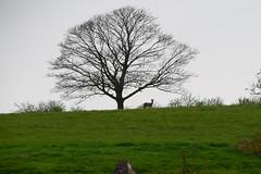 Buck under a tree in Norden (Terry (notwildlife)) Tags: tree roedeer buck norden