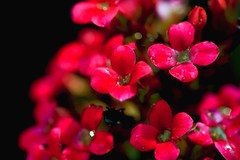 Red (Rajavelu1) Tags: red littleflowers flowers waterdroplets macrophotography canon6d canonef100mmf28macroisusmlens artwork creative bokeh