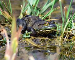 DSC_0065=3Bullfrog (laurie.mccarty) Tags: frog bullfrog nature outdoor animal amphibian nikond810 nikon