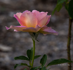 Rose (idunbarreid off / on) Tags: rose doublefantasy