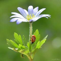 Frohe Ostern 🐣🐰🌷 (AndyW Harz) Tags: blume flower marienkäfer käfer