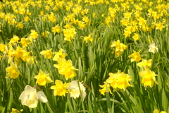 Happy Easter! (Dave Roberts3) Tags: wales gwent newport park bellevue flowers daffodil yellow spring springtime garden supershot citrit coth