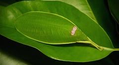 Leaf Katydid (Phyllomimus sp., Pseudophyllinae, Tettigoniidae) (John Horstman (itchydogimages, SINOBUG)) Tags: insect macro china yunnan itchydogimages sinobug katydid bush cricket orthoptera tettigoniidae pseudophyllinae green camouflage crypsis fbe topf25 explore topf50 tweet