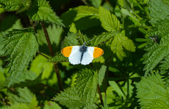 Orange Tip (Claire Louise Beyga) Tags: orange orangetip white blue green butterfly butterflies bigbutterflycount greatbigbutterflycount nature insect macro outdoors country countryside dogwalks mornings april 220417