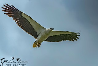 White-belly sea eagle