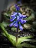 Jacinthe  - Hyacinthus - DBC_2684w (Danielle Champagne) Tags: jacinthe hyacinthus daniellechampagne fleurs flower