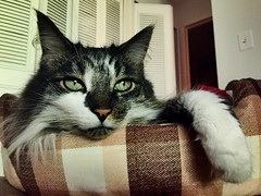 Green (olsonk1015) Tags: mainecoon whiskers paws mysterious cute fur greeneyes cats
