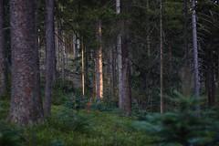 First sunlight (Xtraphoto) Tags: landschaft landscape green grün thetreetales fichten tannenbaum tannen morgenlicht morninglight morgen morning sonnenlicht sunlight lichtstimmung licht light trees bäume wald forest wood