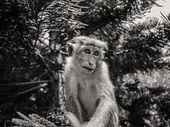 Working it. (von8itchfisk) Tags: monkey srilanka blackandwhite vonbitchfisk
