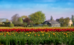 Bollenstreek (marypink) Tags: bollenstreek olanda thenetherlands tulips tulipani campi fields fioritura landscape paesaggio spring primavera nikond800 70300mmf456