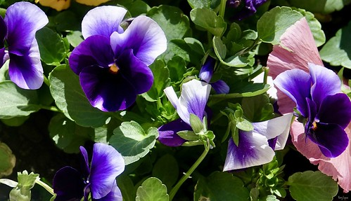 """Purple Pansies • <a style=""""font-size:0.8em;"""" href=""""http://www.flickr.com/photos/52364684@N03/34094391791/"""" target=""""_blank"""">View on Flickr</a>"""