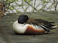 Shoveller (deannewildsmith) Tags: earthnaturelife staffordshire fradleynaturecentre duck shoveller bird