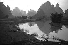 Tranquility at Big Banyan Tree near Yangshuo Guangxi 1993 (Bruce in Beijing) Tags: china guanxi yangshuo bigbanyantree darongshu scenery limestone river pinnacles tranquility naturalbeauty heavenly grazing 1993