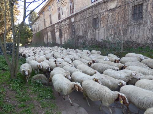 Rome - via appia antica, sheep (3)