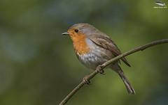 Robin (Mick Erwin) Tags: robin nikon afs 600mm f4e fl ed vr lens d810 mick erwin stoke trent staffordshire wildlife nature