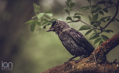 Jackdaw (ianbrodie1) Tags: jackdaw bird rough shabby fly tree trunk branches leaves black feathers wet