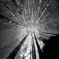 Up to the top (Foide) Tags: pinhole pinholetree birches f160 realitysosubtle rss6x6f