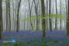 Early mist in the bluebell wood (Clear Inner Vision) Tags: bluebells trees hampshire uk woodland mist beech