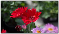 flowers (alain.hueber) Tags: nature fleur printemps flou vert rouge