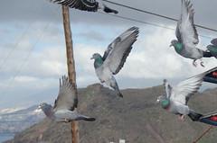 Suelta de palomas. Pigeon race (inma F) Tags: sanandrés carrierpigeon homingpigeon pajaro paloma palomamensajera pigeon pigeonrace pigeonrelease releasingpigeon sueltadepalomas tenerife la palma canary island