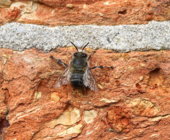 Hugging the sun-warmed wall (SteveJM2009) Tags: anthophoraplumipes hairyfootedflowerbee bee wall warming basking brickwork mortar shop kingstonlacy dorset uk april 2017 spring stevemaskell