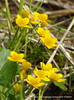 Marsh Marigolds P1180701 (Pitzy's Pyx, keep snapping away!.) Tags: scoopt olympusc5060w bedfordshirewildlifetrust lumixfz200 dropshortmarshnrtoddington342014tl005277