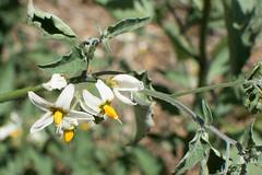 Solanum (Weeding Wild Suburbia) Tags: park gardens places publicgardens spnp