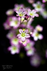 Saxifraga Moscahata 'Pixie' ((Virginie Le Carré)) Tags: fleur flou plongée lumièrenaturelle bokhe boufcontest~mayjune14