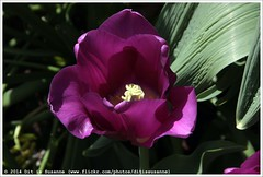 Tulip |  (Dit is Suzanne) Tags: netherlands spring nederland tulip lente keukenhof tulp lisse  img5142 views100  img5141  ditissuzanne canoneos40d provincesouthholland provinciezuidholland