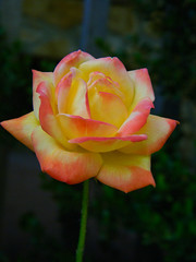 Peace Rose (stephaniepc) Tags: kentucky peacerose landbetweenthelakes grandrivers pattyssettlement