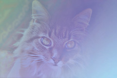 a pastel moment with Padme (captured views) Tags: cats art digitalart textures pastels mainecoon dreamy padme filters cateyes mainecooncats goldeyes softcolor sweetfreedom memoriesbook alittlebeauty vg~catsgallery catsasart capturedviews catsandcolors