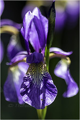 The flags are out! (AshTree25) Tags: flowers iris purple flags mauve backlit irises