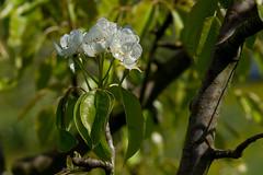 DSC09925_s (AndiP66) Tags: tree schweiz spring bokeh blossoms luzern pear frhling blten unschrfe birnenbaum altbron andreaspeters birnenblten